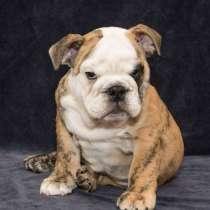 Английский бульдог щенок продается, в Москве
