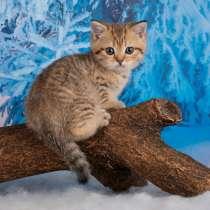 Британский котик, в Санкт-Петербурге