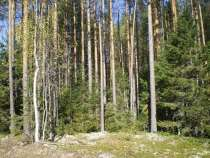 Лес на корню, в Екатеринбурге