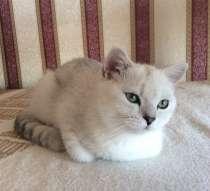 Британский клубный котенок серебристая шиншилла шоу класс, в Москве