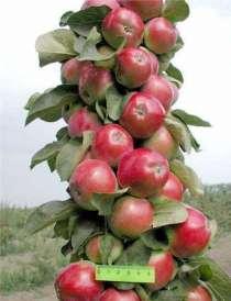 Колоновидные яблони, в Воронеже