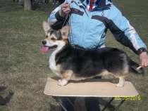 Ищу щенков вельш корги пемброк и предлогаю на обмен щенка, в Краснодаре
