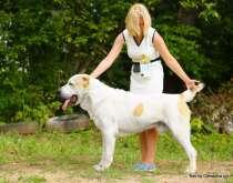 Красивые щенки Среднеазиатской овчарки от чемпионов, в Москве