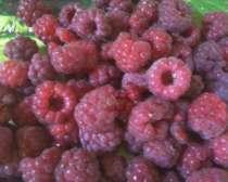 Продам саженцы малины, в г.Днепропетровск