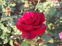 Кусты роз в ассортименте, в Ейске