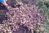 Семенной картофель элитных сортов, в г.Барановичи