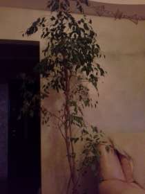 Комнатное растение фикус h=1.7 м, в г.Гродно