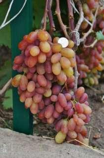 Саженцы элитных сортов неукрывного винограда, в Ульяновске