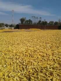 Кукуруза, в г.Талдыкорган