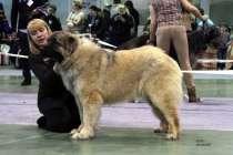 Роскошные щенки Кавказской овчарки от чемпионов, в Москве