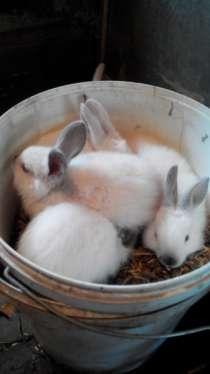 кролики колифорнийцы, в Омске