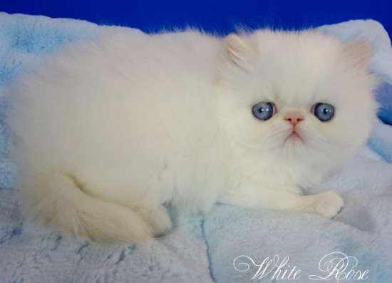 Элитные персидские котята в Москве Фото 1