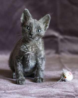 Уральский рекс котик редкий голубой окрс
