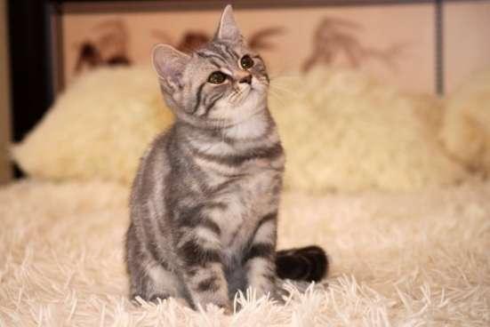 Британские котята элитных кровей в Санкт-Петербурге Фото 4