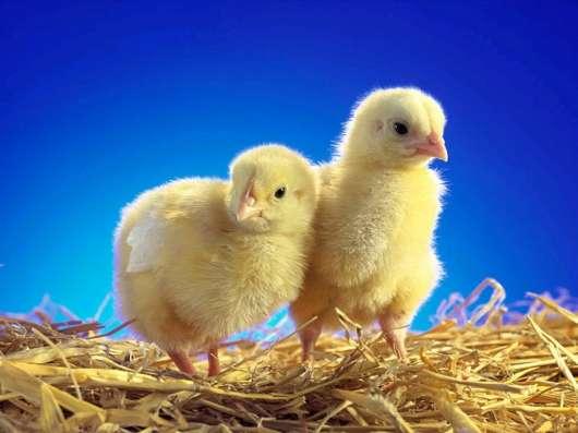 Продажа молодняка кур-несушек и цыплят бройлеров
