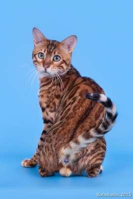 Бенгальские котята 3мес. готовы к переезду