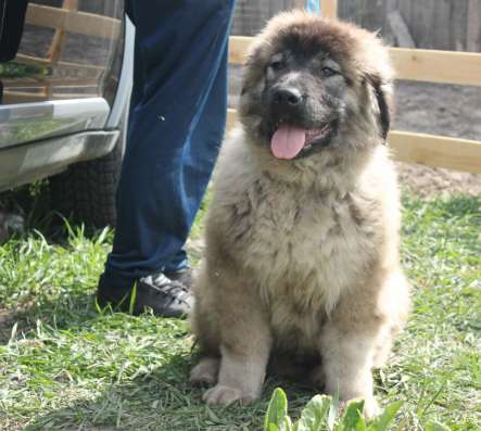 Продаются подрощенные щенки кавказской овчарки
