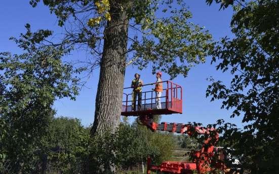 Спил, удаление деревьев в Курске