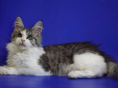 Белые и голубые котята мейн-кун