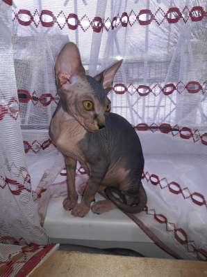 Котята канадского сфинкса в г. Могилёв Фото 2