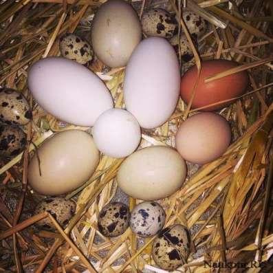 Яйца от домашней птицы