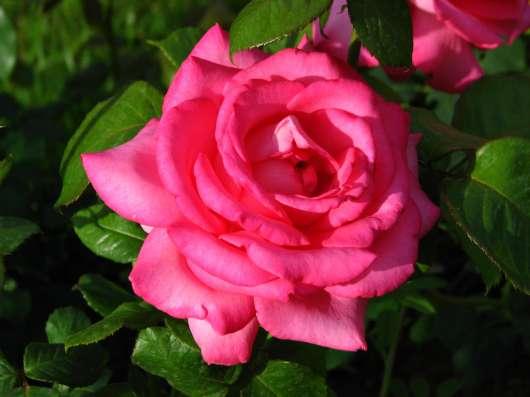Срез для букетов (розы) в Ростове-на-Дону Фото 4
