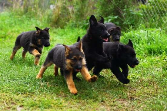 Щеночки немецкой овчарки чёрные и чепрачные