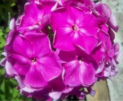 Астильба розовая и другие многолетние ра