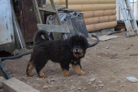Тибетский мастиф - лучший охранник в Москве Фото 3