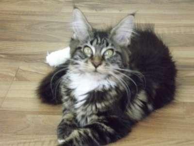 Мейн-кун котята в Геленджике Фото 4