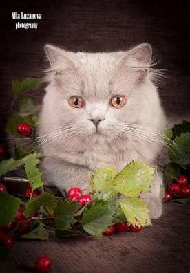 Продается! Британский длинношерстный котик в Санкт-Петербурге Фото 4