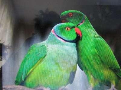 попугаи в Обнинске Фото 5