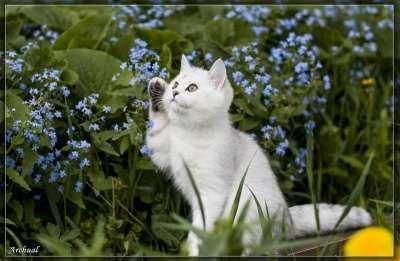 котята британские шиншилла
