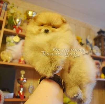 Продаются щенки шпица в медвежьем типе светлого окраса в Москве Фото 4