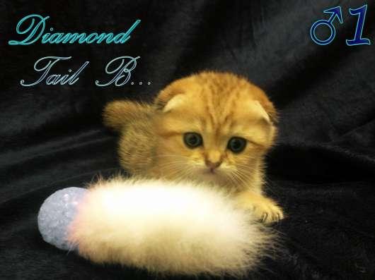 Шотландские вислоухие котята золотого окраса