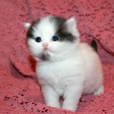 Клубный шотландский котенок хайленд в Омске Фото 1