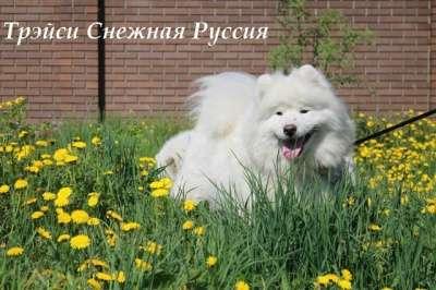 Самоед щенки в Иркутске Фото 3