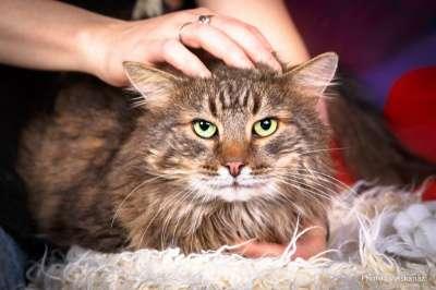 Отдам даром сибирский кот Кузя ищет доброе сердце