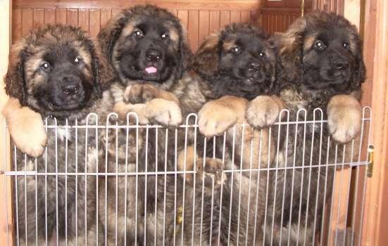 Продаются щенки Леонбергера