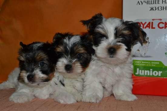 Клубные щенки Бивер Йорка + подарок от фирмы в Москве Фото 6