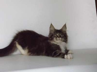 Котята мейн-кун из питомника в Курске Фото 2