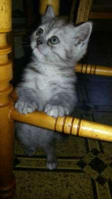 Британских плюшевых котят