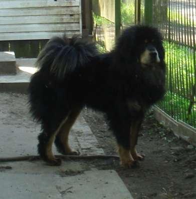 Продам собачий пух тибетского мастифа
