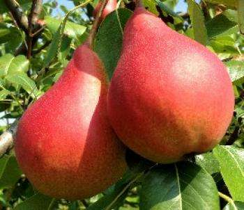 Саженцы плодово-ягодные
