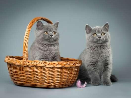 Британские короткошерстные голубые котята в Санкт-Петербурге Фото 1