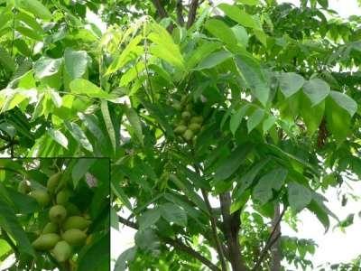 Маньчжурский орех: саженцы, настойка
