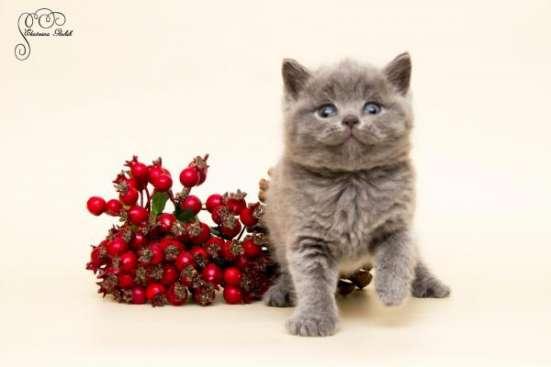 "Британские котята из питомника ""Elite Charme"" в Екатеринбурге Фото 2"