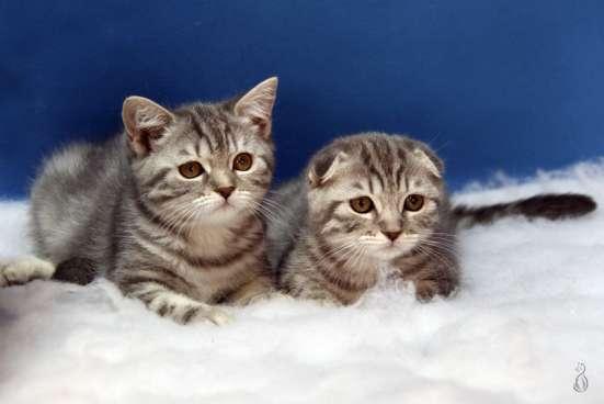 Шотландские котята вискасного окраса в Москве Фото 2