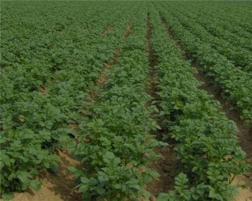 Картофель семенной элита -50р/кг в наличии более 20 сортов