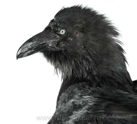 Продам чучело ворона 7тр в г. Самара Фото 1
